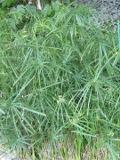 Cibora papirusowa, Cyperus papyrus , rośliny  pokojowe