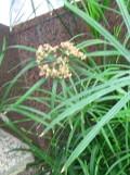 Ogrodnik-amator, opis rośliny, Cibora papirusowa, Cyperus papyrus, Papyrus sedge or paper reed, uprawa cibory papirusowej, rośliny doniczkowe, rośliny pokojowe, rośliny kwitnące latem, rośliny o efektownych liściach, rośliny wodne