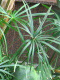 cibora papirusowa roślina pokojowa
