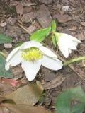 ciemiernik biały, zdjęcia rośliny