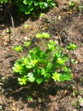 rośliny wieloletnie, cieszynianka wiosenna