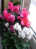 rośliny pokojowe, rosliny doniczkowe, cyklamen perski