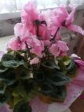 Ogrodnik-amator, opis rośliny, Cyklamen perski, Cyclamen persicum, Florists Cyclamen, uprawa cyklamenów perskich, rośliny do domu