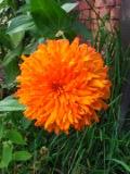 Ogrodnik-amator, opis rośliny, Cynia, Zinnia, uprawa cynii, kwiat, kwiaty jednoroczne, rośliny o barwnych kwiatach, kwiaty na gleby żyzne, rośliny na gleby wilgotne, rośliny o ozdobnych kwiatach