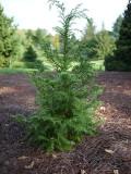 Ogrodnik-amator, opis rośliny,