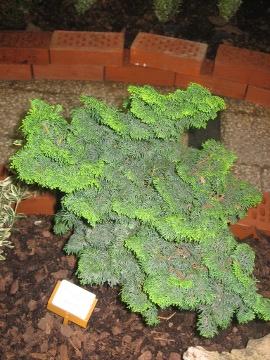 iglaki do małego ogrodu, duże drzewa iglaste,  dekoracyjne iglaki