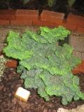 cyprysik japoński, galeria roślin, zdjęcia roślin