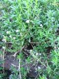 cząber ogrodowy, galeria roślin, zdjęcia rosliny na literę CZ