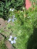 kwiaty ogrodowe, kwiaty łatwe w uprawie, kwiaty jednoroczne, czarnuszka damasceńska