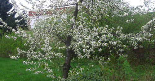 wiosna w ogrodzie, ogród , rośliny do ogrodu choroby czeresni, kwitnąca czereśnia, kalendarz ogrodnika, ogrodnik-amator.pl