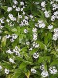 Ogrodnik-amator, opis rośliny, Czosnek niedźwiedzi, Allium ursinum, Wild garlic, wood garlic or bears garlic, uprawa czosnku niedźwiedziego, opis rośliny,  kwiaty wieloletnie, rośliny cebulowe, rośliny bulwiaste,  rośliny kwitnące biało, rośliny użytkowe, rośliny o drobnych kwiatach