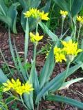 Czosnek złocisty, Allium Moly, Yellow Garlic, Moly, Yellow Onion, uprawa czosnku złocistego