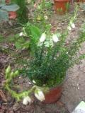 Ogrody, zdjęcia DABECJA KANTABRYJSKA, zdjęcia dabecji, dabecja w ogrodzie