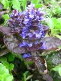 kwiaty ogrodowe, kwiaty łatwe w uprawie, kwiaty wieloletnie, dąbrówka rozłogowa