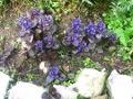 Ogrodnik-amator, opis rośliny, dąbrówka rozłogowa, Ajuga reptans, Bugle, uprawa dąbrówki rozłogowej, kwiaty wieloletnie, byliny, kwiaty na skalniak, rośliny o ozdobnych liściach, kwiaty ogrodowe, kwiaty na skaniak, kwiaty wiosny, kwiaty wiosenne, kwiaty łatwe w uprawie, rośliny kwitnące wiosną, rośliny do wiosennego ogrodu