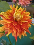dalia autumn sunbrust