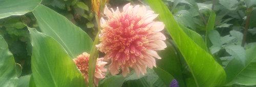 Ogrody,  sadzimy letnie kwiaty cebulowe