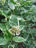 Ogrodnik-amator, opis rośliny,  Dereń biały, Cornus alba, Red-barked dogwood, uprawa derenia białego, dyży krzew, krzewy kwitnące wiosną, krzewy o czerwonych pędach, krzewy o białych kwiatach, krzewy o ozdobnych liściach, krzewy na na każdą glebę, Krzewy łatwe w uprawie, krzewy lisciaste, krzewy ozdobne, krzewy o dekoracyjnych pędach