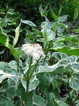 krzewy liściaste dereń biały