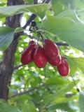 ogród użytkowy, owoce, warzywa zioła, denenie jadalne, owoc derenia jadalnego