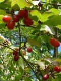 Ogrodnik-amator, opis rośliny, Dereń jadalny, Cornus mas, Cornelian cherry, uprawa derenia jadalnego, pielęgnacja, derenie jadalne,  krzewy owocowe, krzewy o czerwonych owocach, ogród owocowy, drzewa i krzewy owocowe, rośliny użytkowe, rośliny owocujące, rośliny wytrzymałe, krzewy na różne gleby, Krzewy łatwe w uprawie, krzewy lisciaste