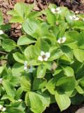 dereń kanadyjski, rośliny na literę d, zdjęcia roślin, galesia roślin