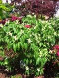 Ogrodnik-amator, opis rośliny, Dereń kousa, Cornus kousa, Kousa Dogwood, uprawa derenia kousa, pielęgnacja, dereń ozdobny, derenie jadalne,  krzewy owocowe, krzewy o czerwonych owocach,, rośliny owocujące, rośliny wymagające,  Krzewy trudniejsze w uprawie, krzewy lisciaste