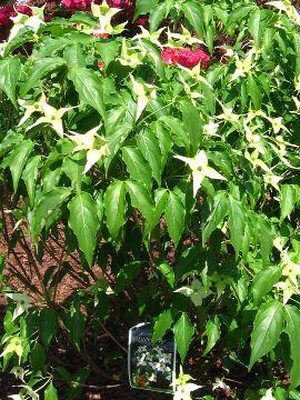 krzewy liściaste dereń kousa