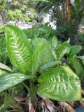 Ogrodnik-amator, opis rośliny, Difenbachia, Dieffenbachia, Dumb cane, uprawa difenbachii,  rośliny do domu, rośliny doniczkowe, rośliny pokojowe, rośliny o pstrych lisciach, rośliny o efektownych liściach, rośliny zielne, rośliny tropikalne, rośliny trudniejsze w uprawie