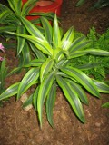 rośliny doniczkowe, pokojowe, dracena wonna