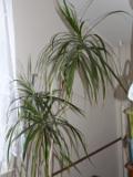 Ogrodnik-amator, opis rośliny, Dracena obrzeżona (smokowiec),  Dracaena marginata,. Dragon Tree, Marginate Dracaena, uprawa drceny obrzeżonej, roślina pokojowa, roślina doniczkowa, drzewa i krzewy ozdobne z liści, rośliny łatwe w uprawie, drzewa o małych wymaganiach,  drzewa i krzewy liściaste
