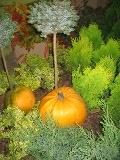 Ogrody, zdjęcia dyni olbrzymiej, dynia olbrzymia  w ogrodzie, ogród użytkowy