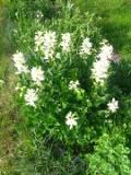 Ogrodnik-amator, opis rośliny, Dyptam jesionolistny,  krzew Mojżesza, Dictamnus albus, Burning Bush, False Dittany, uprawa krzewu mojżesza, dyptamu jesionolistnego, kwiaty wieloletnie, byliny, kwiaty wiosenno-letnie, kwiaty różowe, białe