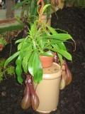 dzbanecznik, Nepenthes , rośliny pokojowe, rośliny doniczkowe