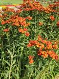 Ogrody, zdjęcia dzielżan ogrodowy, dzielżanjesienny kwiat w ogrodzie
