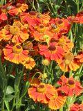 ogród kwiaty ogrodowe , byliny,  kwiaty kwitnące latem ijesienią dzielżan ogrodowy, dzielżan jesienny