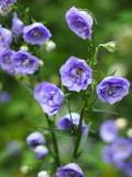 Ogrodnik-amator, opis rośliny, Dzwonek brzoskwiniolistny, Campanula persicifolia, Peach-leaved Bellflower, uprawa dzwonka brzoskwiniolistnego, kwiaty wieloletnie, byliny, dzwonek brzoskwiniolistny kwiat