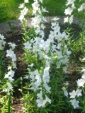 dzwonek brzoskwiniolistny, rośliny na literę d, zdjęcia roślin