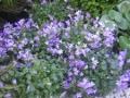 Ogrodnik-amator, opis rośliny, Dzwonek gargański, Campanula garganica, Adriatic bellflower, uprawa dzwonka gargańskiego, kwiaty wieloletnie, byliny, kwiaty efektownie kwitnące, kwiaty ogrodowe, kwiaty lata, kwiaty wiosenno-letnie, rośliny do letniego ogrodu, kwiaty o niebieskich, lila, białych kwiatach