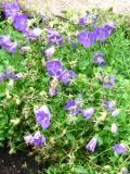 Ogrody, zdjęcia rośliny, byliny, kwiaty rośliny wieloletnie , zioła dzwonek karpacki, ogród ozdobny
