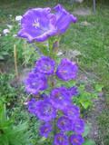 Ogrodnik-amator, opis rośliny, Dzwonek ogrodowy. Campanula medium,  Canterbury Bells, uprawa dzwonka ogrodowego, kwiaty dwuletnie, kwiaty efektownie kwitnące, kwiaty ogrodowe, kwiaty lata, kwiaty letnie, kwiaty łatwe w uprawie,  rośliny kwitnące latem