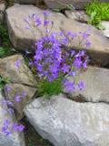 dzwonek rozpierzchły, rośliny na literę d, zdjęcia roślin, rośliny dwuletnie