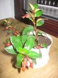 eschynantus,  Aeschynanthus, rośliny pokojowe, rośliny doniczkowe