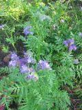 facelia błękitna,  zdjęcia rośliny ,galeria roślin
