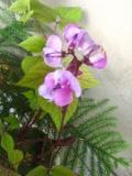 fasolnik egipski,  zdjęcia rośliny ,galeria roślin