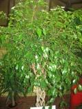 drzewo liściaste figowiec