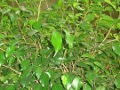Ogrodnik-amator, opis rośliny, Figowiec benjamiński (benjaminek)  łac. Ficus Benjamina, uprawa figowca benjamina, opis rośliny. Ogrodnik-amator roślina pokojowa, roślina doniczkowa, krzewy ozdobne z liści