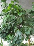 figowiec lirolistny,   Ficus lyrata, rośliny pokojowe, rośliny doniczkowe