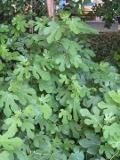 figowiec pospolity, ficus carica, drzewo liściaste, zdjęcia rośliny, rośliny pokojowe
