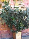 figowiec sprężysty, Ficus  elastica , rośliny pokojowe